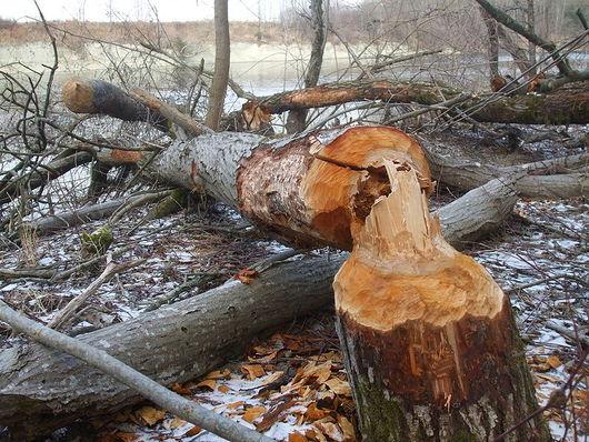 Znalezione obrazy dla zapytania bóbr ścinający drzewo
