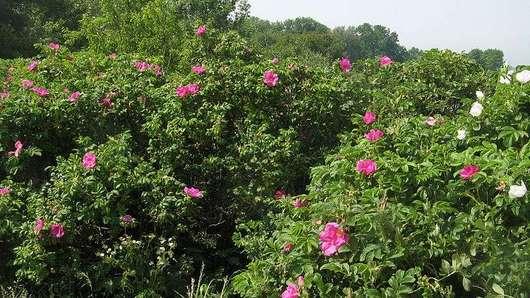 Растение шиповник парковая роза фото описание видов