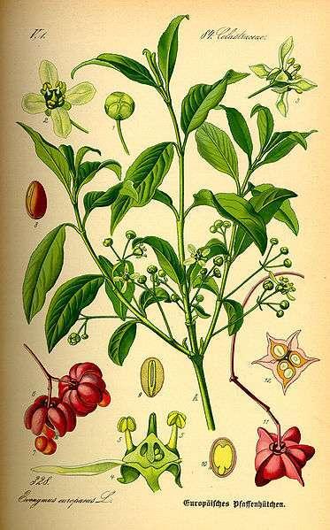 Trzmielina pospolita - ilustracja (autor: Otto Wilhelm Thomé, źródło: Wikipedia, licencja: domena publiczna)